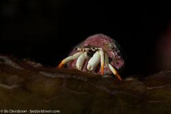 BD-161026-Pura-3116-Calcinus-minutus.-Buitendijk.-1937-[Small-white-hermit-crab].jpg